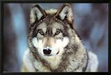 WWF - Grey Wolf Posters