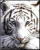 Bílý tygr Reprodukce aplikovaná na dřevěnou desku