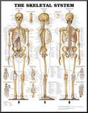 The Skeletal System Anatomical Chart Poster Print Umocowany wydruk