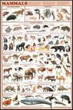 Mammals Educational Science Chart Poster Mounted Print