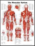The Muscular System Anatomical Chart Poster Print Reprodukce aplikovaná na dřevěnou desku