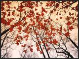 Red Maple and Autumn Sky Posters by Raymond Gehman
