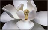 Magnolia Mounted Print