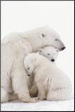 Polar Bear Family Mounted Print