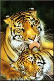 Tiger - Mothers Love Mounted Print