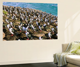 Bird, King Cormorant or Imperial Shag, Colony on Saunders Island, Falkland Islands Wall Mural by Martin Zwick