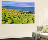 Bird, King Cormorant or Imperial Shag, Colony on Bleaker Island, Falkland Islands Wall Mural by Martin Zwick