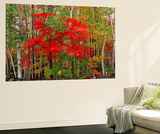 Red Maple and White Birch, White Mountains National Forest, New Hampshire, USA Wall Mural by Adam Jones