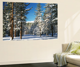 Jeffrey Pine Covered with Snow, Inyo National Forest, California, USA Wall Mural by Adam Jones