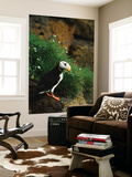 Horned Puffin on Rock, Pribilof Island, St. Paul Island, Alaska, USA Wall Mural by Hugh Rose