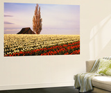 Tulip Field with Barn and Poplar Tree, Skagit Valley, Washington, USA Wall Mural by Charles Crust