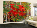Red Maple and White Birch, White Mountains National Forest, New Hampshire, USA Wall Mural – Large by Adam Jones
