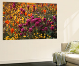 Owl's Clover, Coreopsis, California Poppy Flowers at Antelope Valley, California, USA Print by Stuart Westmorland