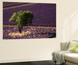 View of Single Tree in Lavender Field, Provence-Alpes-Cote d'Azur, Drome, France Posters af David Barnes