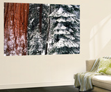 Giant Forest, Giant Sequoia Trees in Snow, Sequoia National Park, California, USA Plakater af Inger Hogstrom