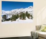 Swiss Pine, Mt Wildspitze, Oetztal Alps, Vent, Tyrol, Austria Prints by Martin Zwick