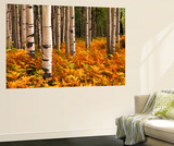 Stand of Quaking Aspen Tree, Gunnison National Forest, Colorado, USA Posters af Adam Jones