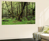 Old Lush Grown Forest, Olympic National Park, Washington State, USA Posters by Paul Souders