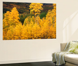 View of Autumn Aspen Grove on Mountain, Telluride, Colorado, USA Kunst af Stuart Westmorland