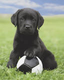 Dog - Labrador Football Plakaty