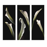 Calla Lilies Photographic Print by  Lependorf-Shire