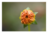 Orange Bud Photographic Print by Ross Gordon