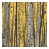 Aspen Trees 3 Photographic Print by Jamie Cook