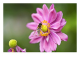 Purple Pollinate Photographic Print by Ross Gordon