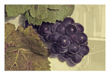 Pinot Noir 2 Giclee Print by Paul Loverme
