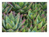 Aloe 1 Photographic Print by  PhotoDF