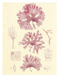 British Seaweed Plate IX Giclee Print by William Henry Harvey