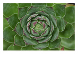 Cabbage Flower 1 Photographic Print by Ross Gordon