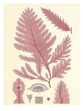 British Seaweed Plate CCLIX Giclee Print by William Henry Harvey