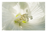 White Beauty Photographic Print by Ross Gordon