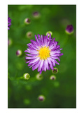 Purple Starburst 2 Photographic Print by Ross Gordon