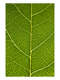 Green Leaf A Photographic Print by Ross Gordon