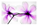 Magnolior Fotografiskt tryck av Hong Pham
