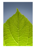 Green Leaf C Photographic Print by Ross Gordon