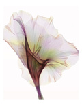 Gladiolus Photographic Print by Hong Pham