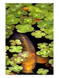 Koi 1 Photographic Print by  PhotoDF