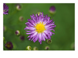Purple Starburst 1 Photographic Print by Ross Gordon