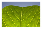 Green Leaf B Photographic Print by Ross Gordon