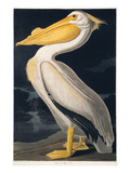 Birds of N America 2, JJ Audubon Prints by  Porter Design
