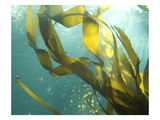 Sea Kelp 3 Photographic Print by Karen Ussery