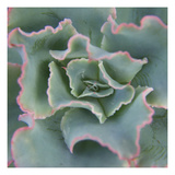 Lettuce Leaf Succulent Photographic Print by Karen Ussery