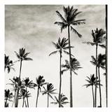 Coconut Palms I 'Cocos nucifera', Kaunakakai, Molokai Photographic Print by  JoSon