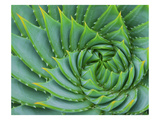 Succulent Swirl Photographic Print by Karen Ussery