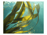 Sea Kelp 1 Photographic Print by Karen Ussery