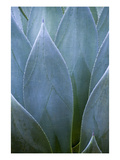 Agave V Photographic Print by Thea Schrack