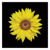 Sunflower Photographic Print by  JoSon